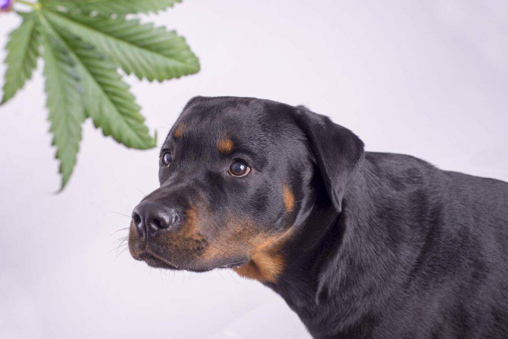 dog looking at a cannabis leaf